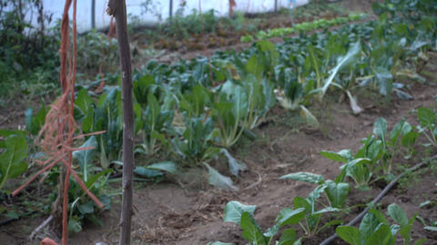 Rows of vegetables in a greenhouse Footage