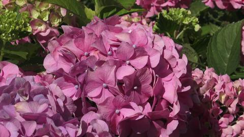 Beautiful flowers. Beauty in nature. Hydrangea macrophylla. Pink flower Footage