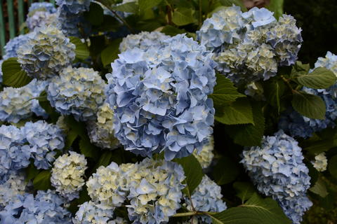 Blue hydrangea garden with green leaves in the garden Photo
