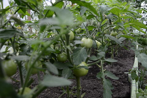 Agricultural tomato farm in a modern greenhouse with green tomatoes フォト