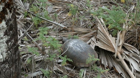 Land tortoise at the Barefoot Beach State Preserve Live Action