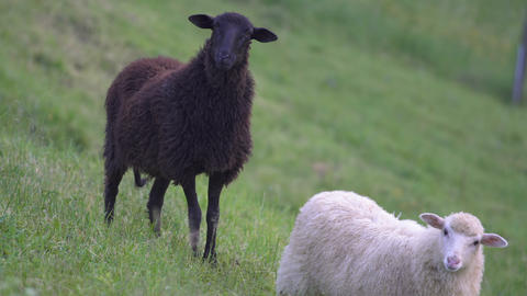 Black sheep on pasture Footage