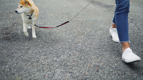 Slow motion low shot of female dog owner walking her cute shiba dog while animal Live Action