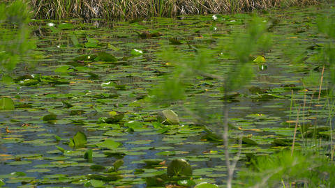 View of wetland swamp forest lake close up Footage