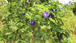 Butterfly pea with flowers and pods GIF