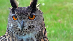 Cinemagraph of Owls face and eyes moving Footage