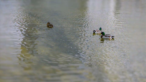 Ducks Swimming In A Pond Tilt Shift Archivo