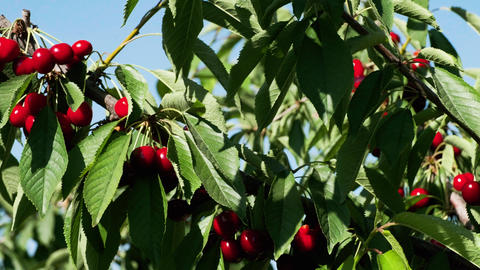 Natural Fresh Cherry, Hanging In Branch Of A Cherry Tree. Fruit Food, sweet ビデオ