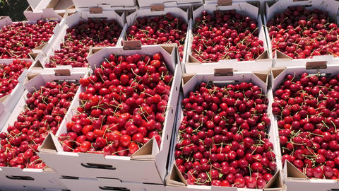 A view of numerous boxes full with ripe cherries Live Action