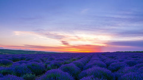 Sunset Over A Field Of Lavender Stock Video Footage
