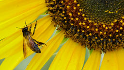 Closeup bee on a sunflower Live Action