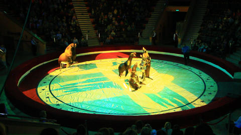 Trained sea lion and fur seals on arena in circus Live Action