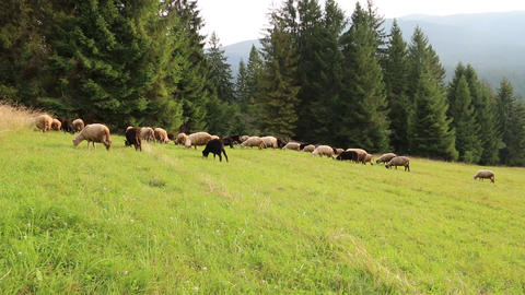 Flock of sheep on the pasture Footage