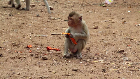 Rhesus macaque sits on the ground and eats fruit Footage