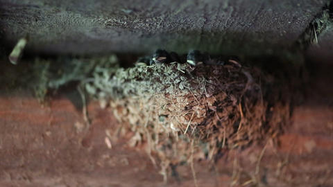 Yellow-beaked nestlings inside the nest Footage