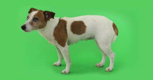 Dog Jack Russell Terrier is afraid of standing and trembling Live Action