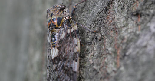 An insect, called cicada Footage