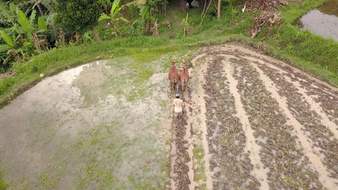 Senior Asian Farmer Plowing Rice Paddy Field Using Buffaloes Bulls. Traditional Footage