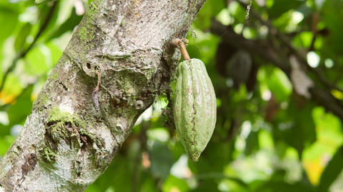 Cacao Fruit Grow on Tree in Organic Farm Plantation. 4K. Bali, Indonesia Live Action