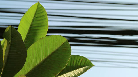 Nature and technology, Plumeria tree leaves and electrical power lines 실사 촬영