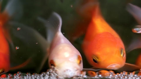 Soft focused beautiful and cute goldfishes swim GIF
