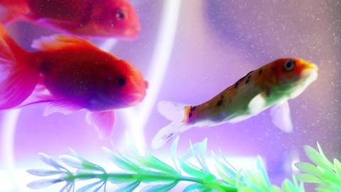 Gold fish swimming in fish tank, Fish in the aquarium (4) Footage