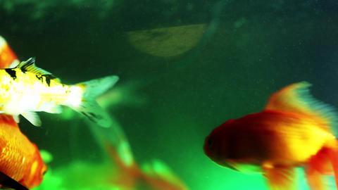Gold fish swimming in fish tank, Fish in the aquarium (8) Footage