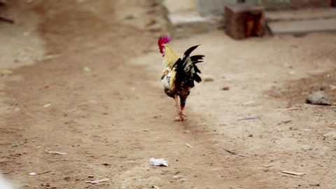 Rooster close nature background Live Action