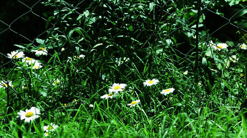 Wild daisy flowers, beautiful spring time Footage