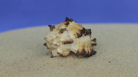 Approaching the seashell lying on the sand. Isolated ビデオ