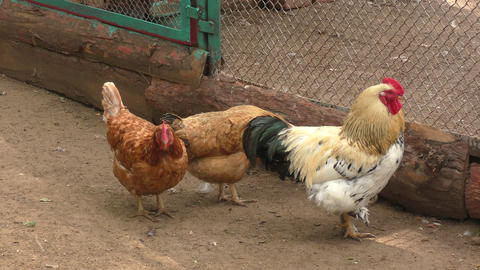 Rooster and chicken at the farm Live Action