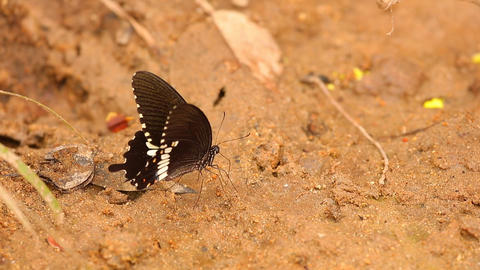 Spicebush Swallowtail Butterfly Close Up High Definition Footage