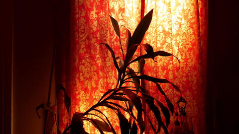 House Plant Behind a Floral Curtain Archivo