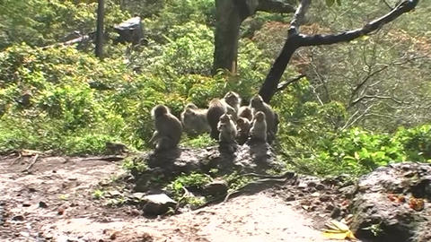 Monkeys along the side of the road Live Action