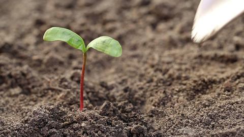 Man pull out a young plant from the soil Footage