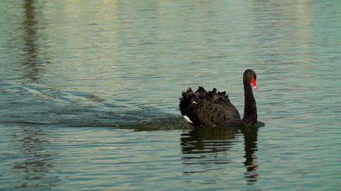 Black Swan floating on the water. Black Swan quickly floats on the surface of Live Action