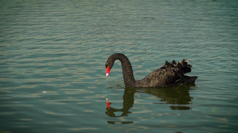 Black Swan floating on the water. The Swan lowered his nose into the water Footage