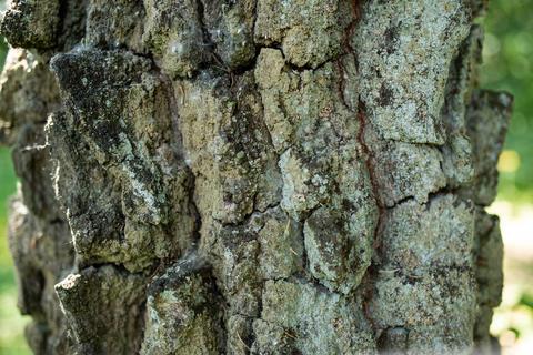 Rough old tree bark フォト