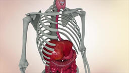 Animation showing male internal organs Footage