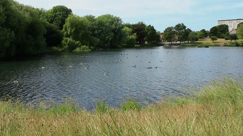 Mallard Ducks floating on the lake - wide view of the area. Witton Lakes Footage