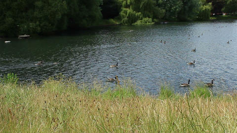 Mallard Ducks floating on the lake. Witton Lakes Archivo