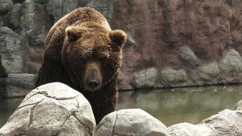 Brown bear in water. Portrait of brown bear (Ursus arctos beringianus) Footage