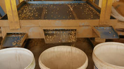 Machines Sorting size raw coffee beans Live Action