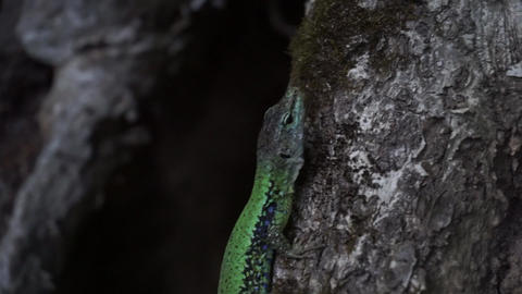 Green lizard sits on a tree trunk close up Footage