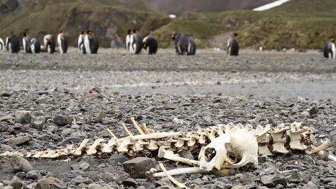Animal Bones On South Georgia Island Archivo