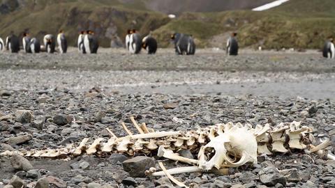 Animal Bones On South Georgia Island GIF