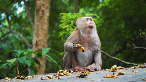 The monkey eats a banana and looks around in surprise. wild nature, the natural Live Action