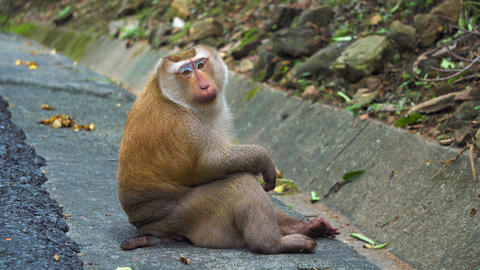 portrait of a monkey, looking at the camera. monkey in the national park Footage