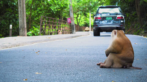 the monkey is sitting on the road. cars drive past monkeys. national park, road Footage