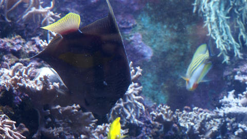 Fish in the aquarium. Tropical reef fish Footage